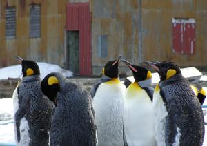 King Penguins in Grytviken, South Georgia Island
