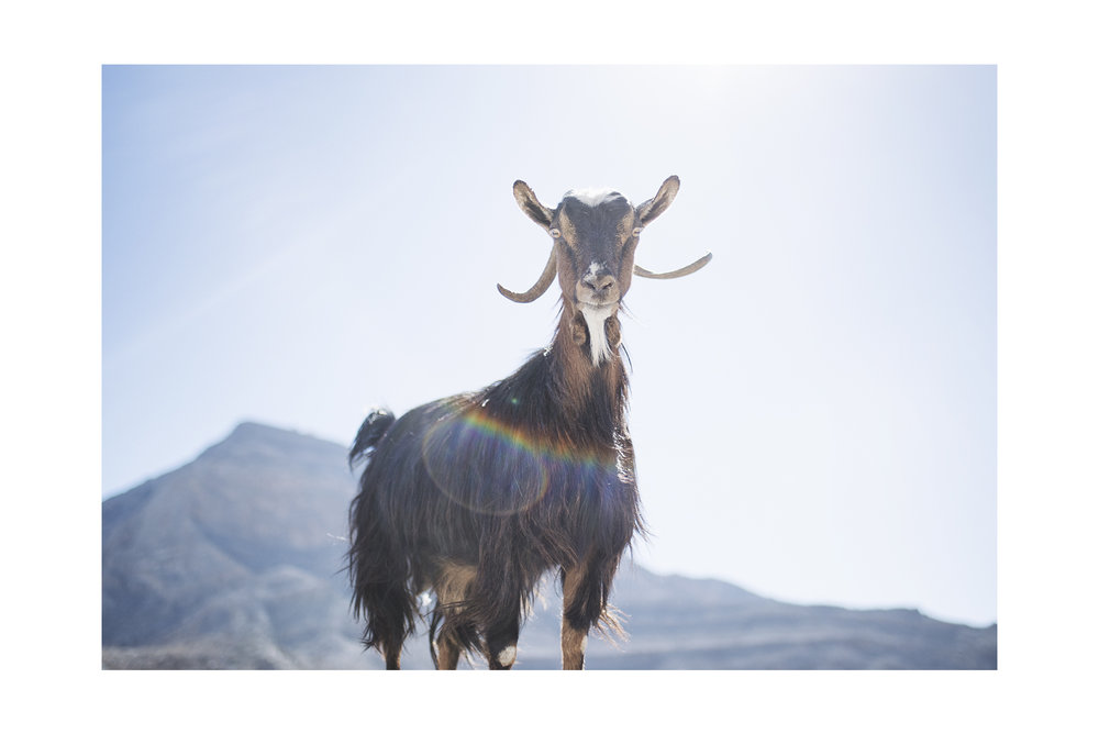 A solid goat - Oman, 2016