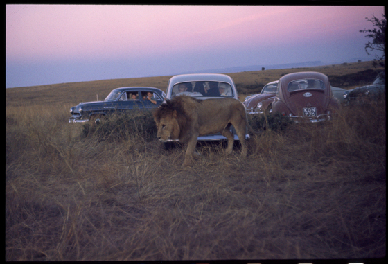Kenya_Lion_Nairobi_Game_ParkWeb.jpg