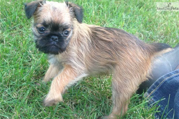 brussels-griffon-puppy-picture-8173c42f-f215-4171-8ccc-2116363e5551.jpg