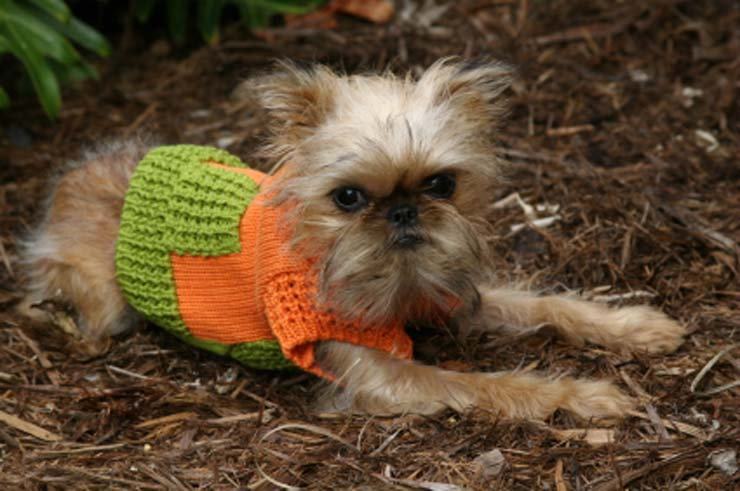 brussels-griffon-puppy-picture.jpg
