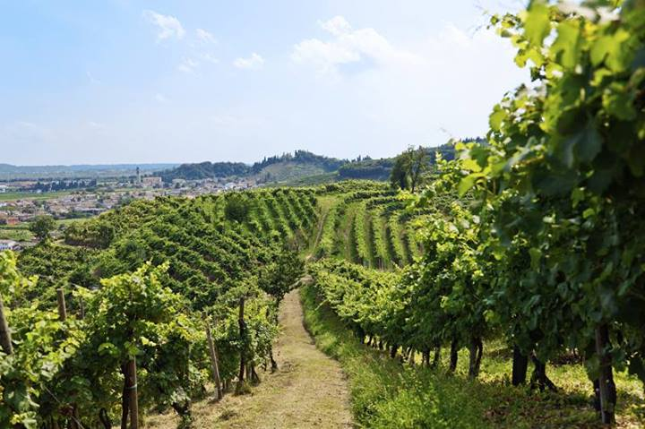 Sorelle Bronca Vineyards (photo from producer website)