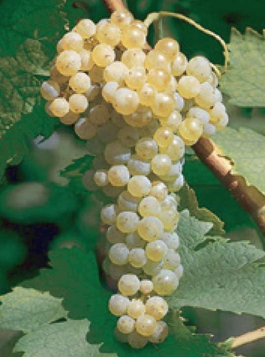 Trebbiano Group