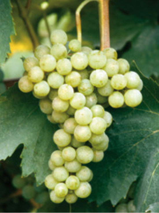 Malvasia Group