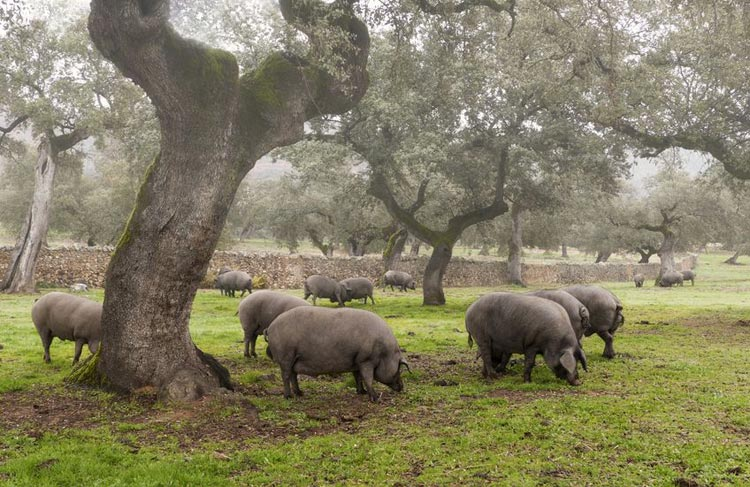 Iberian pigs on the dehesa