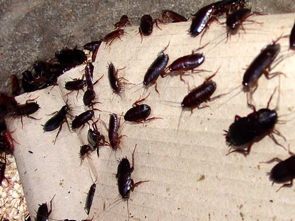 Cockroaches What You Should Know Expert Pest Control