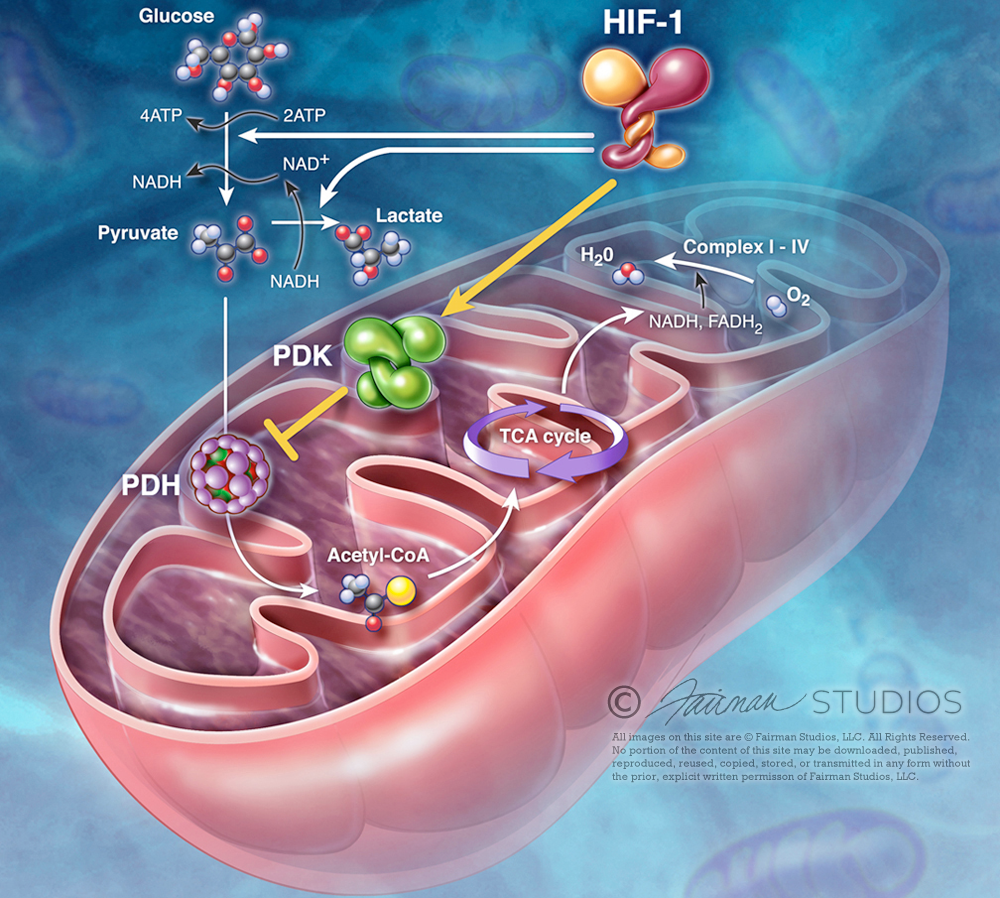 jfairman_mitochondria.png