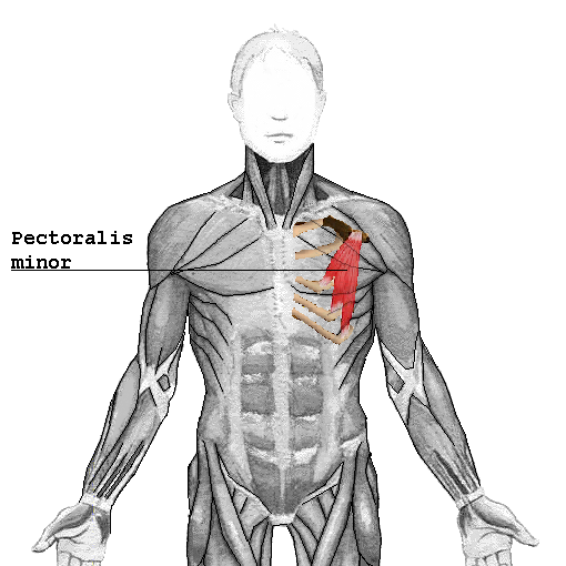 Source: http://en.wikipedia.org/wiki/Pectoralis_minor_muscle