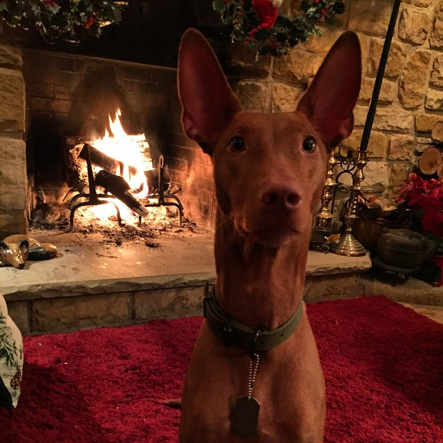 Seraph would like to say merry Christmas give me the shrimp cocktail #pharaohhound #merrychristmas