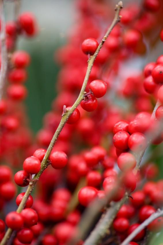 winter berries Small.jpg