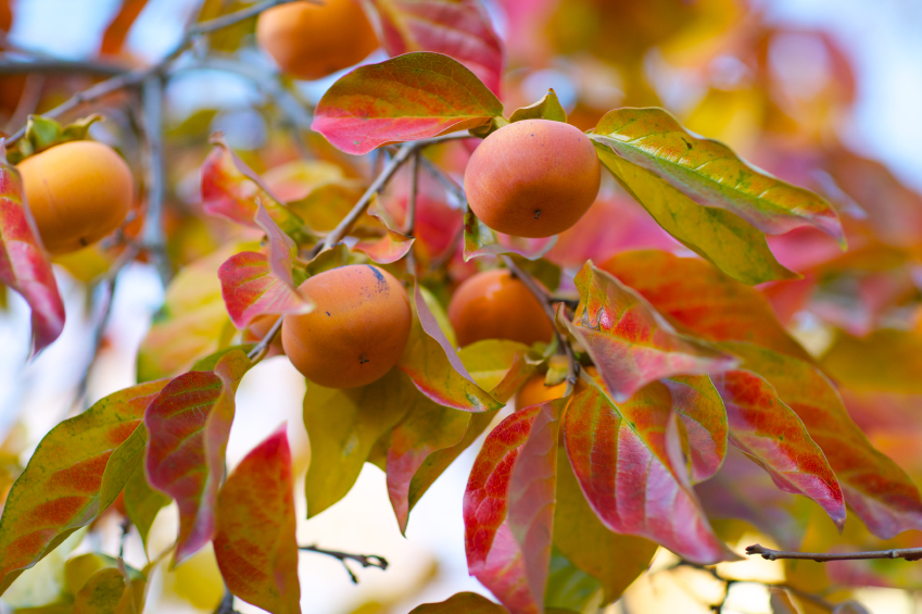 PERSIMMON TREES PROVIDE GREAT FALL COLOR.