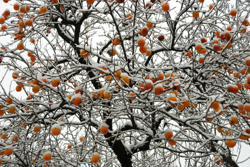 GRACEFUL, CURVING BRANCHES AND ALMOST WEEPING HABIT MAKE PERSIMMON TREES A GREAT FORM IN THE LANDSCAPE.