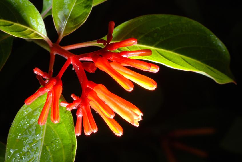 Mexican Firebush, Hamelia patens