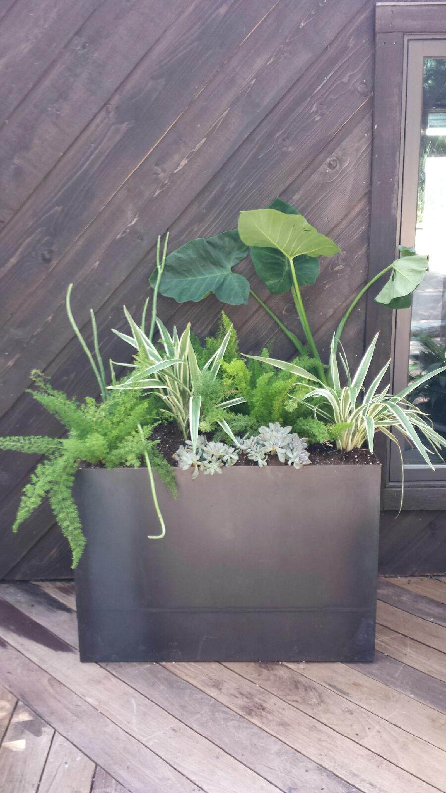 "Custom, clear powder-coated, steel planter ""hovers"" to avoid rotting clients' deck. Planter is equipped with hidden irrigation and drainage systems.  Bullet-proof in the shade: Flax lily, Foxtail fern, Graptopetalum, and Hardy Elephant Ear."