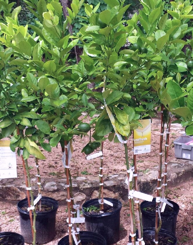 """Patio Standard"" Meyer Lemons are trained as single trunk trees so that their habit is tidy for planters and seating areas."