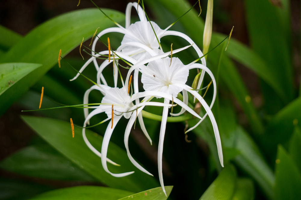 Native White Spider Lily requires little care in shade or part shade