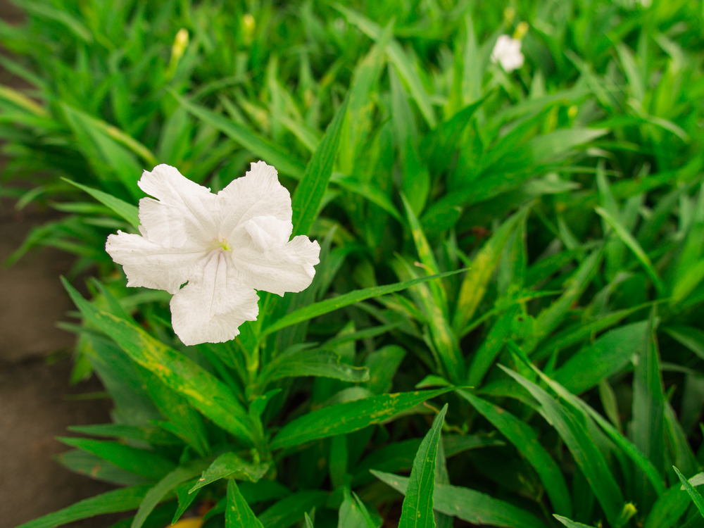 Dwarf White Ruellia forms a ground cover in the shade and flowers densely with bright white blooms in August