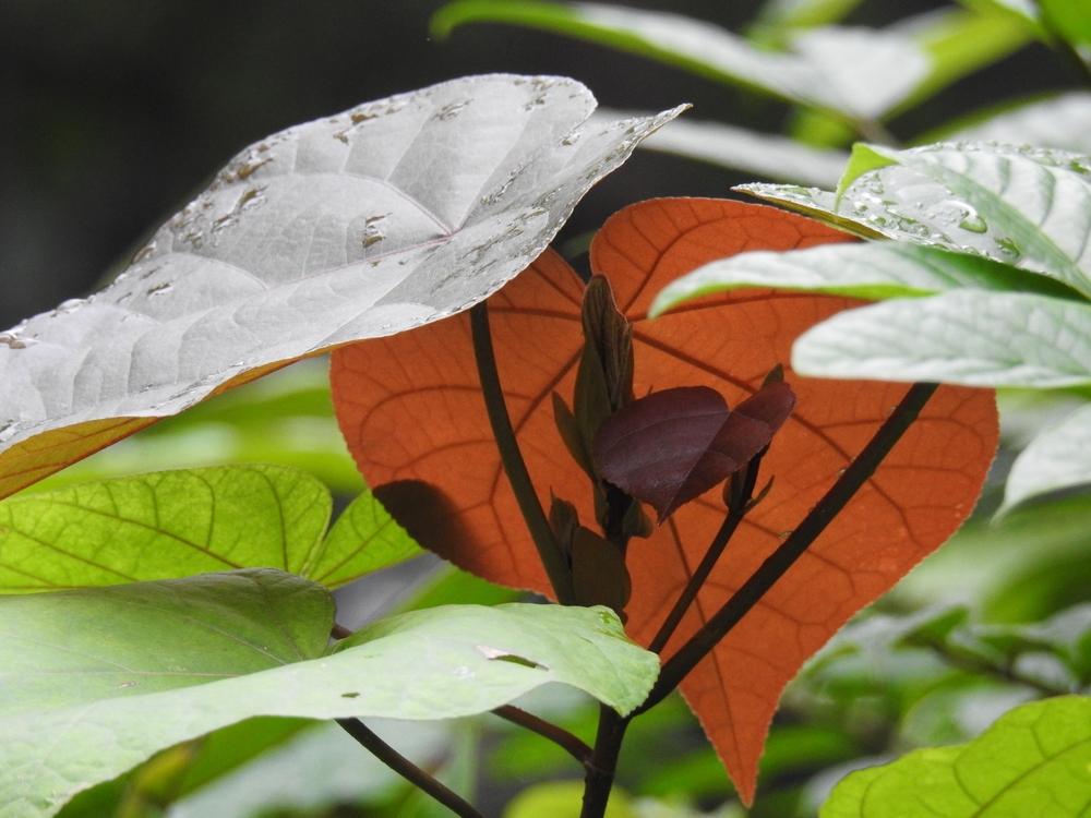 Redbud Tree -
