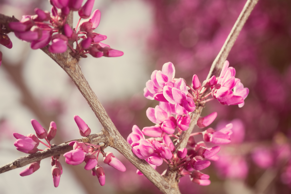 Redbud Tree - Spring blooms