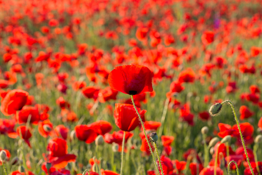 plant poppies late fall for spring blooms