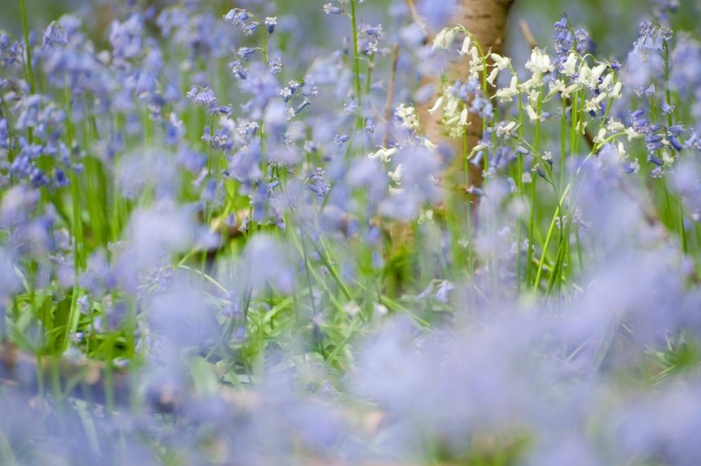 bluebells3.jpg