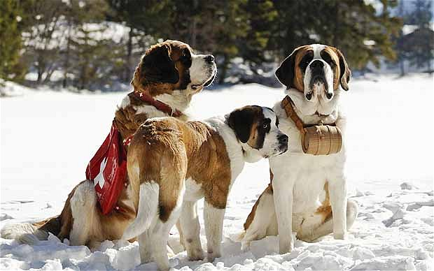 None of these dogs are the dog that saved Julia's life. Stupid lazy St. Bernards!