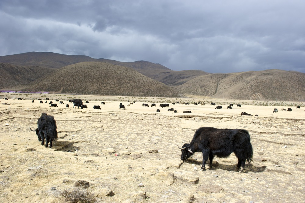 Yaks on Tibet plateau