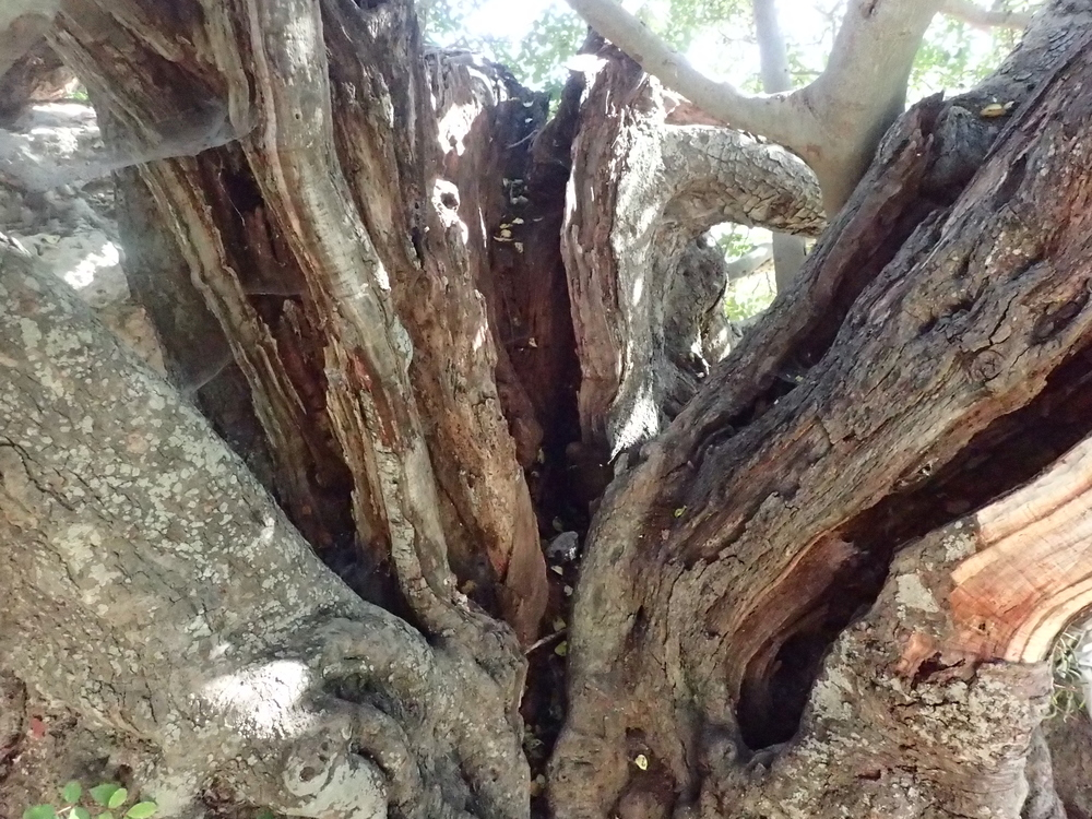 Thousand year old carob tree.