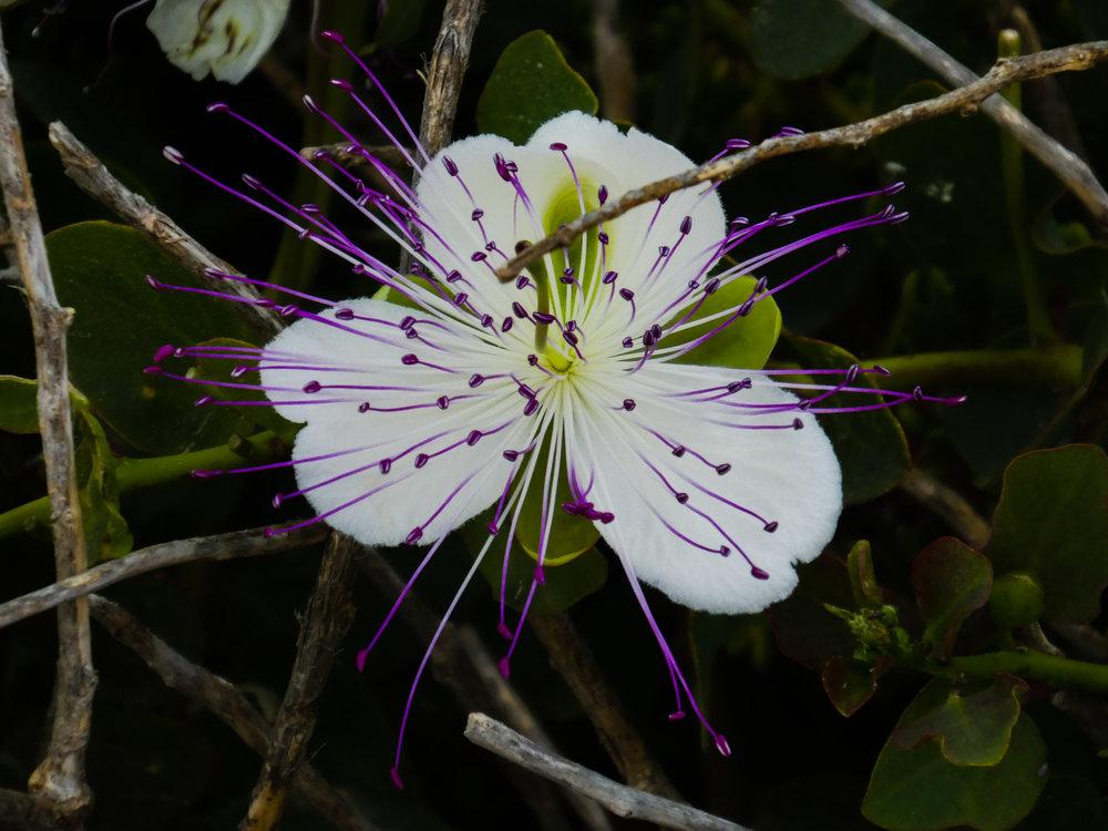 The flower of the caper bush is also caller Flinders' rose, named after the explorer Matthew Flinders (1774 - 1814).