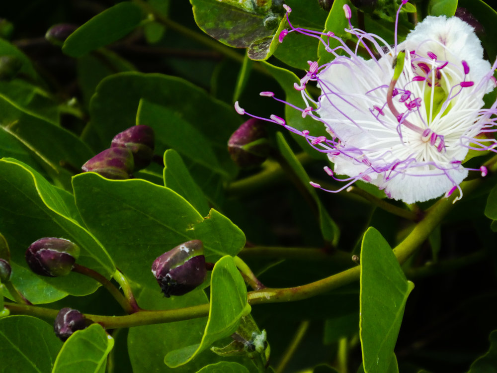 Caper bush flower and flower buds