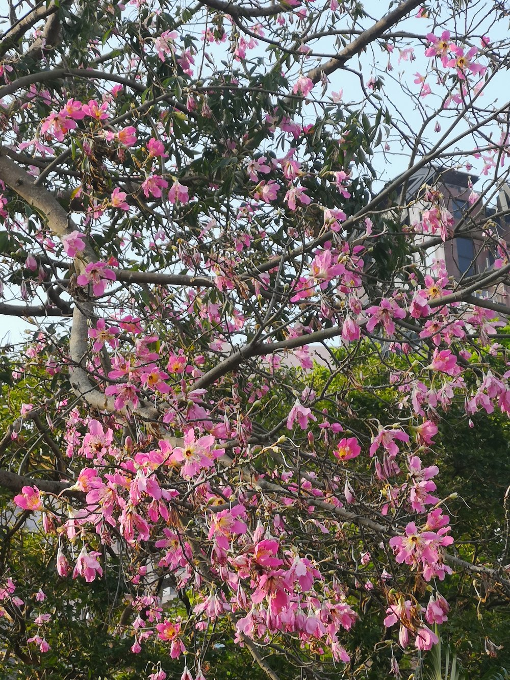 Hong Kong's flower, the Bauhinia, at the end of the season.