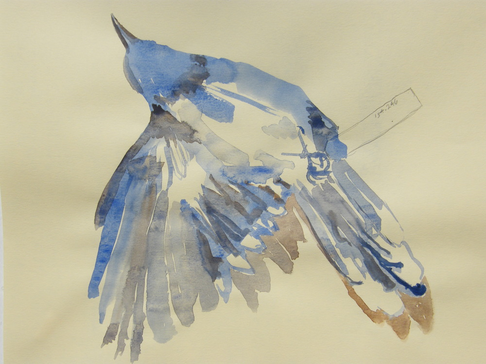 watercolor sketch of blue jay, collected 1953