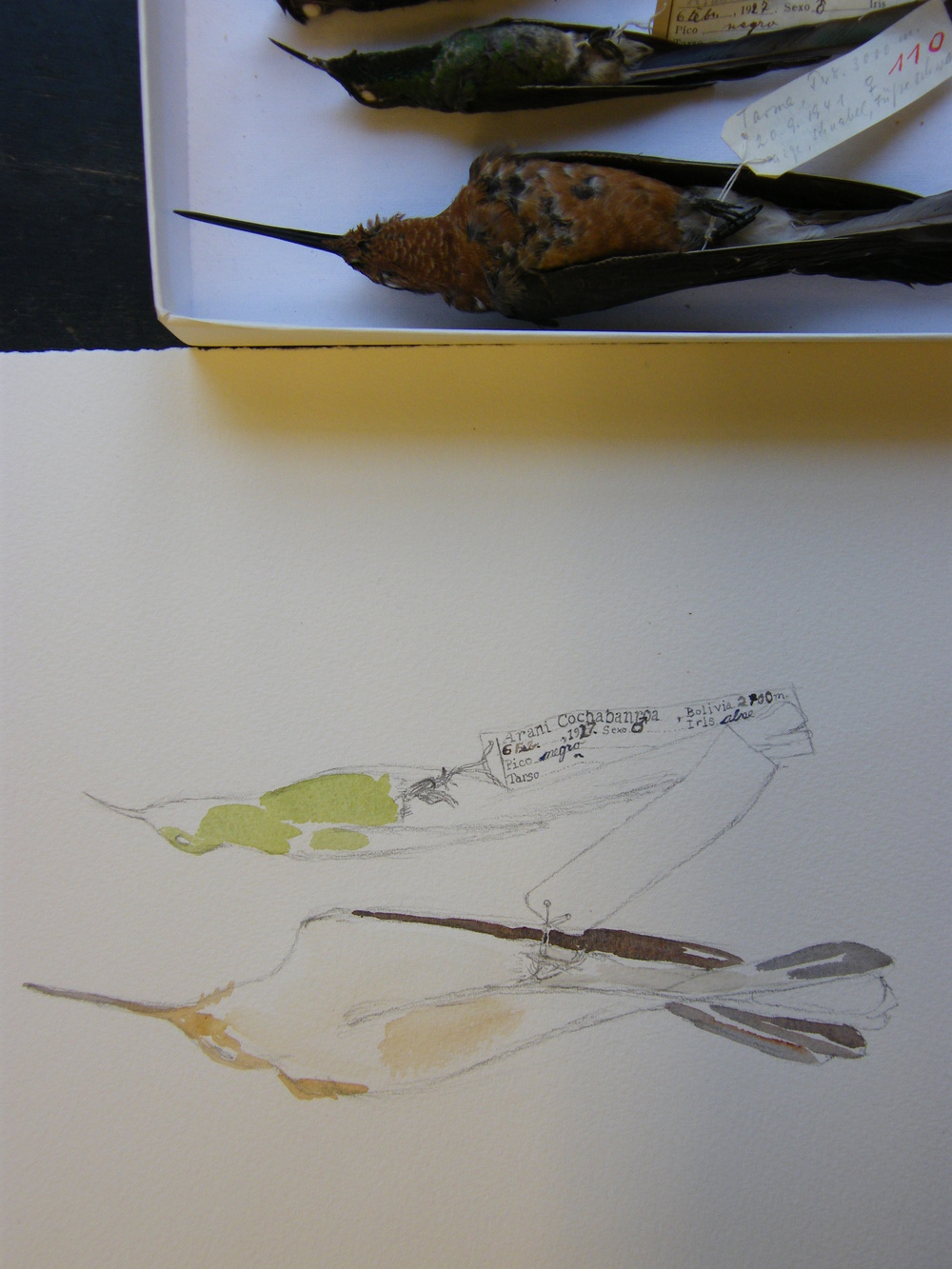 Hummingbird sketch and specimens