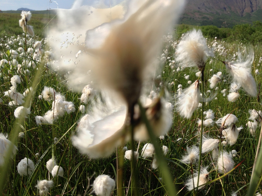 Cotton grass fields outside our farmhouse at Gulllkistan in Laugarvatn, Iceland.
