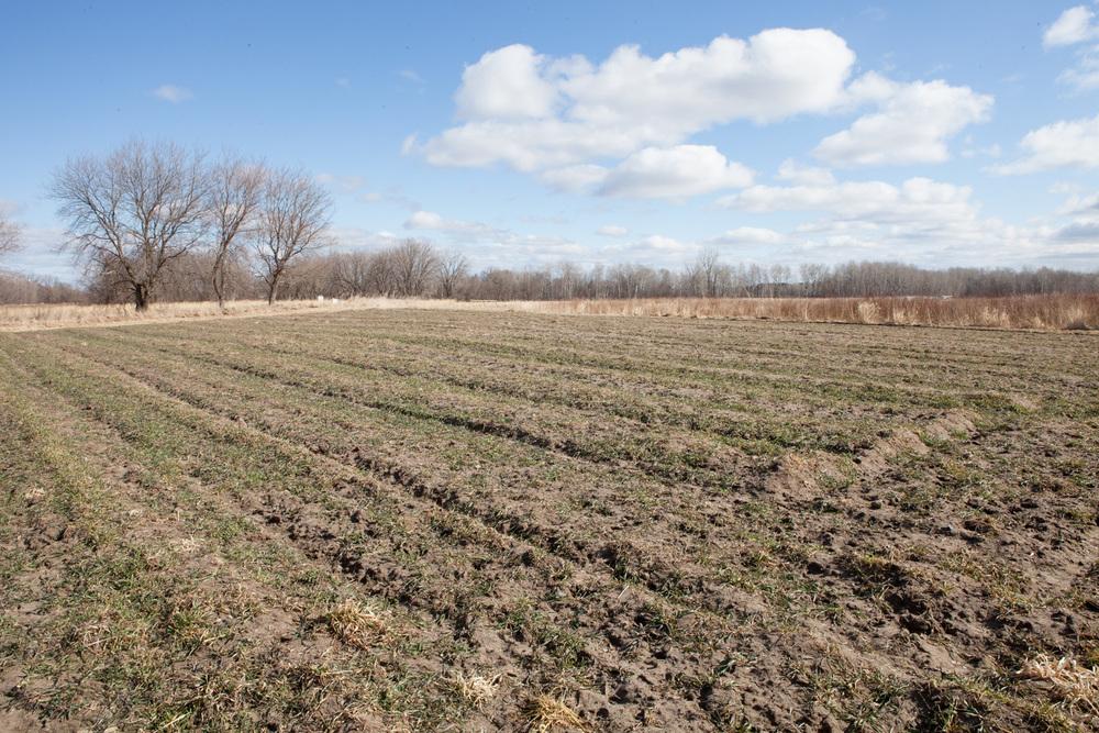 Rye Grass Returning