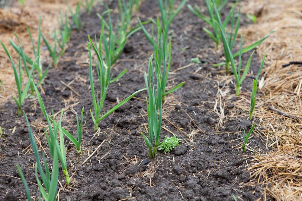 Garlic Starts