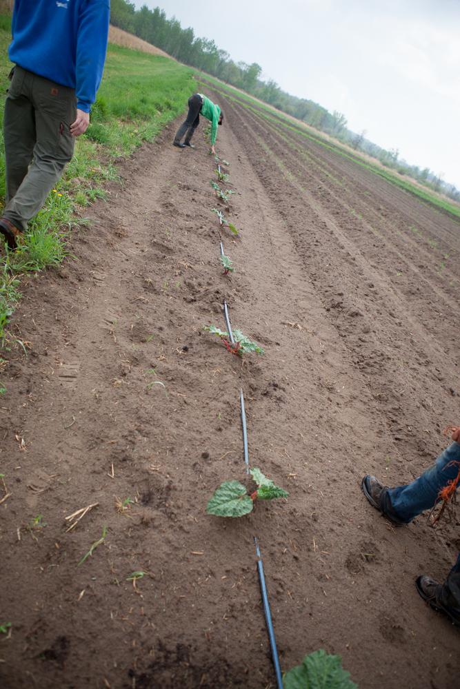 Rhubarb in New Perennials Field