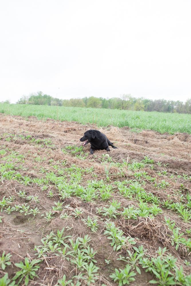 Black Dog in the Future Monarch Habitat