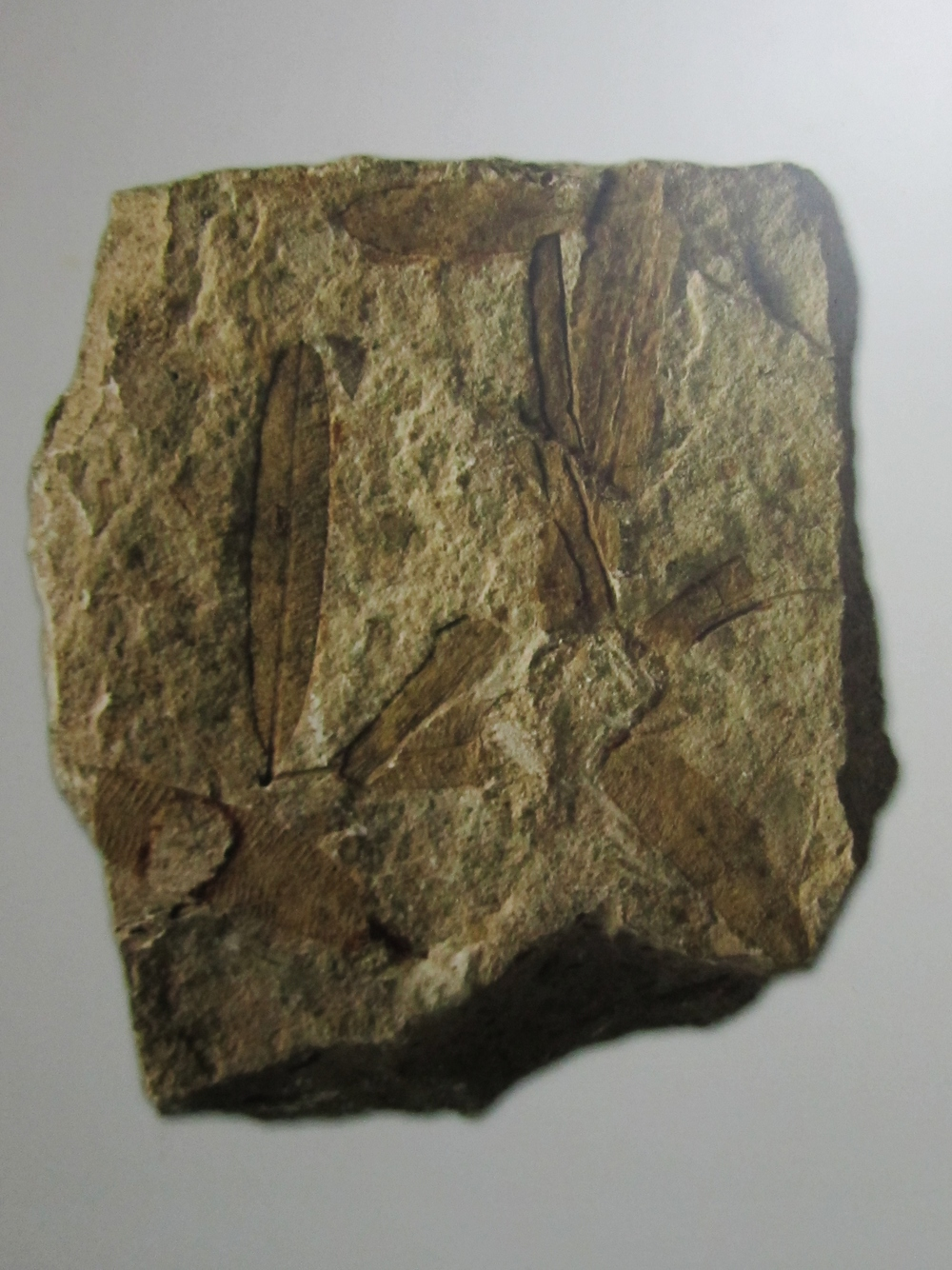 paris rock catacomb leaf imprint fossil.JPG