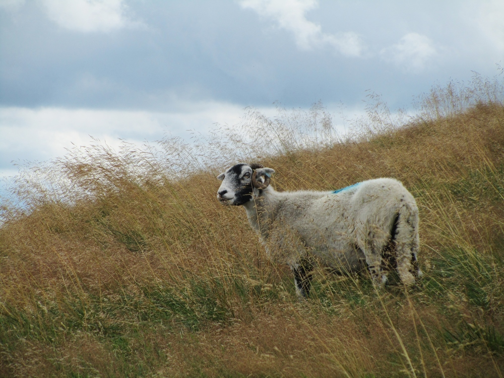 A noble sheep