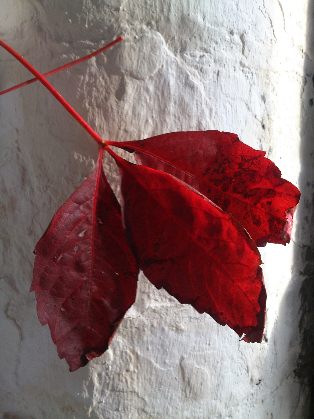 Red clematis leaves remind me of home...