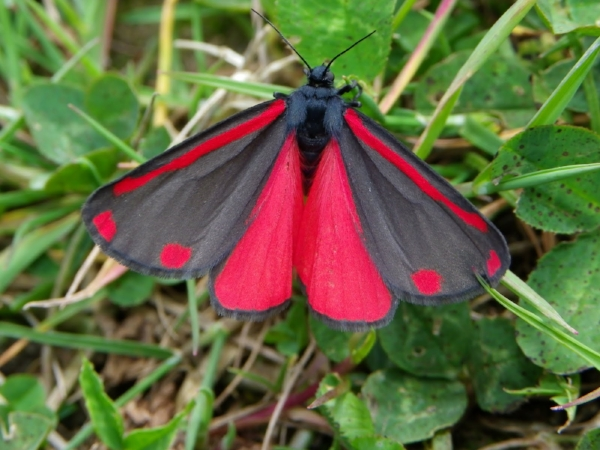 Image of Cinnabar Moth courtesy of Charles J. Sharp Photography