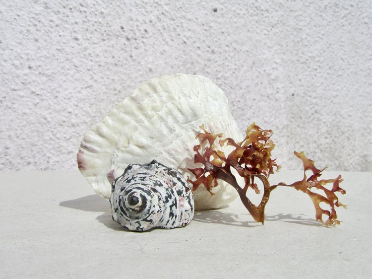 chestnut turban shell - resin & silver ring set with carnelian stones