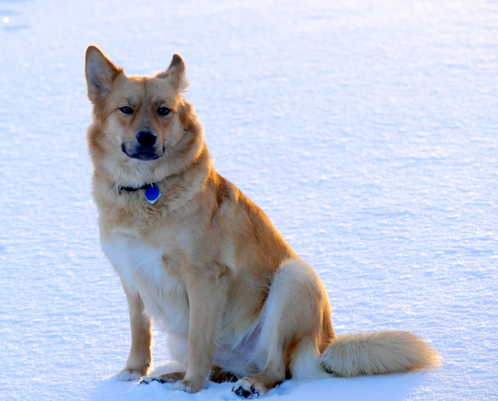 dogs of Iceland