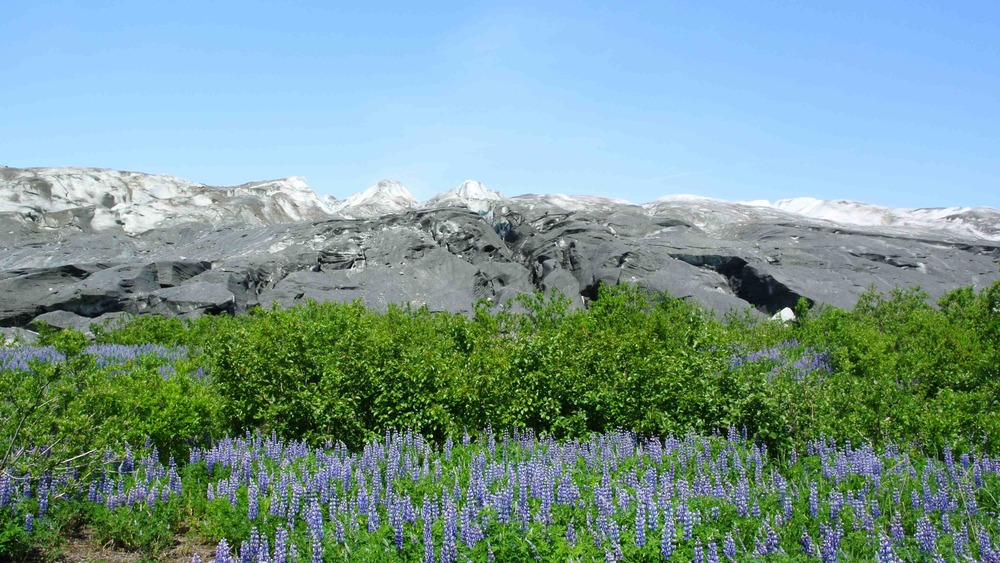 Lupine with the Taku Glacier terminus. Photo: Salvatore G. Candela