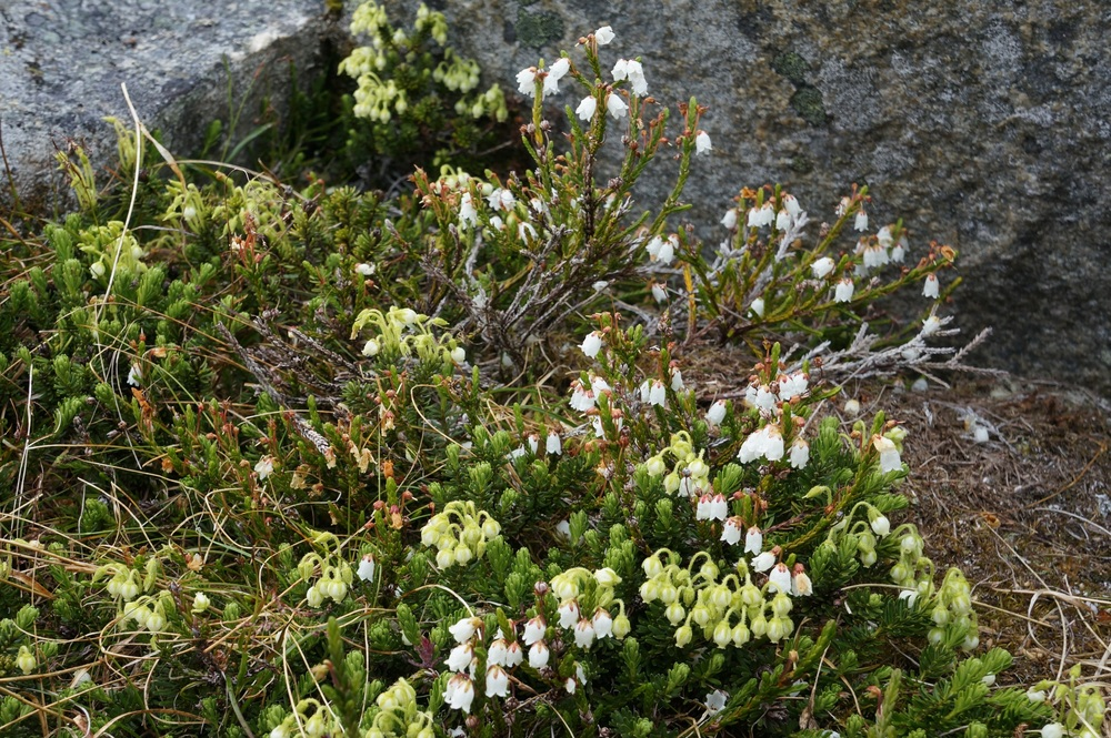 Phyllodoce glanduliflora on the icefield.  photo by Alex Micheler