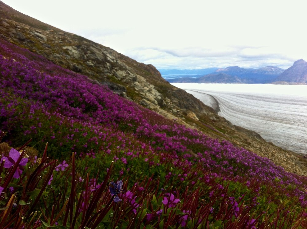 Dwarf fireweed above Llewellyn Glacier. Photo by Riley Wall.
