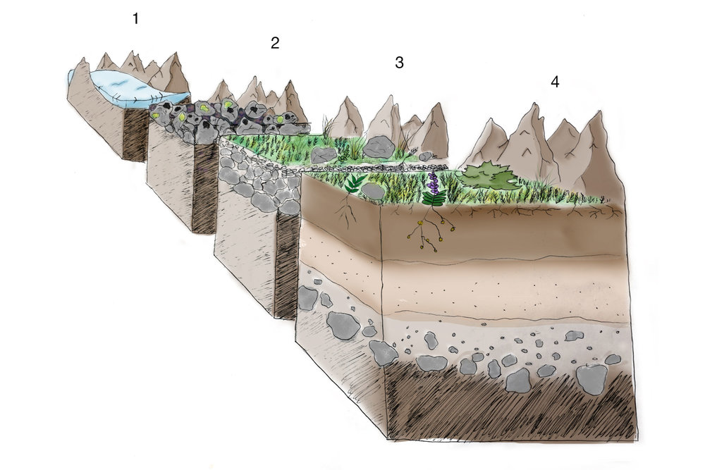 Plant succession and soil development in progressively deglaciated zones. Image credit: Abby Case.