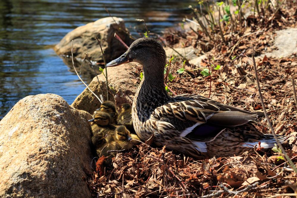 Ducks-0515.jpg