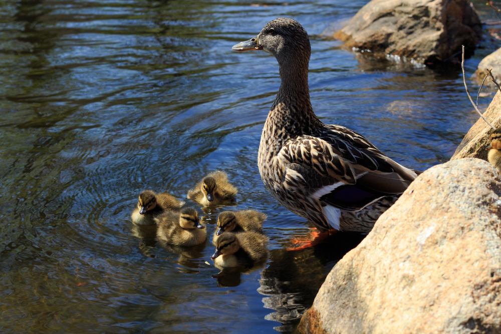 Ducks-0541.jpg